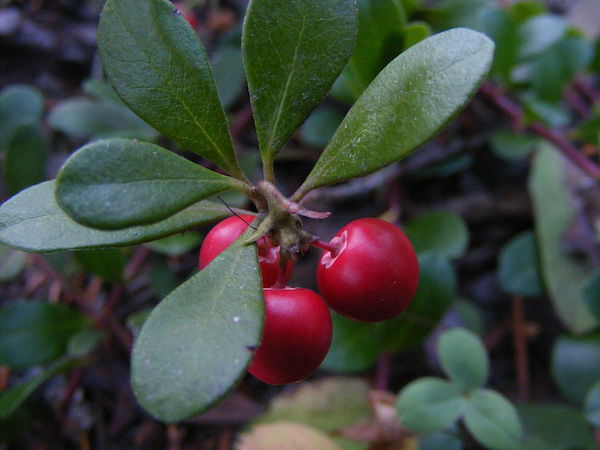 Common Bearberry