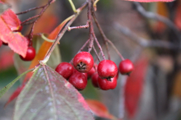 Red Chokeberries (Aronia arbutifolia)