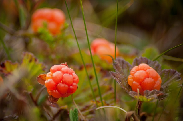 Cloudberry Plants with bright orange edible wild berries growing near the ground