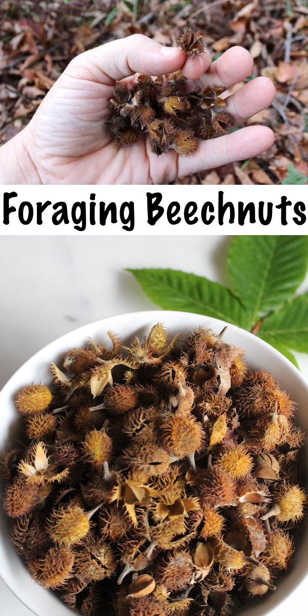 Foraging Beechnuts ~ Follow this foragers guide to wild edible beechnuts to find your own delicious, nutrient dense wild nuts. #wildcrafting #foraging #survival #wildfood