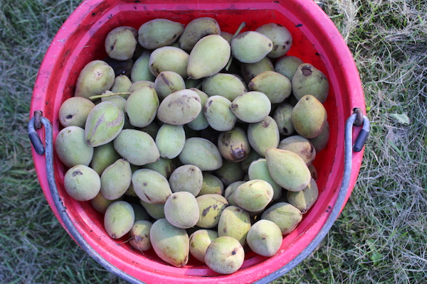 Bucket of Butternuts, also known as white walnuts