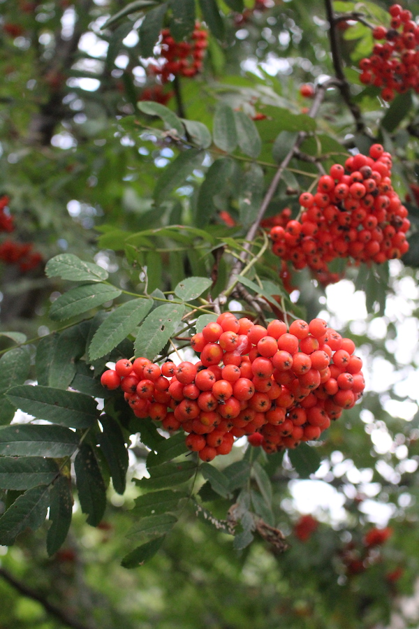 Clusters of Wild Edible Rowanberries
