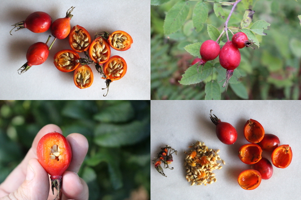 How to prepare rose hips as an edible wild fruit.