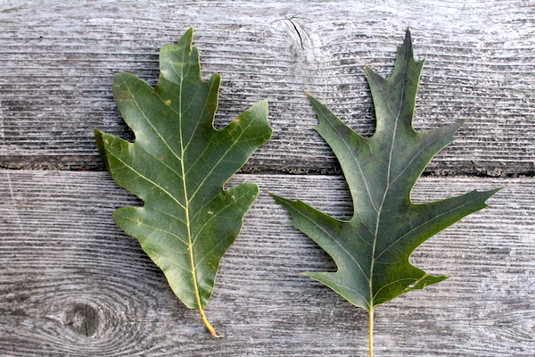 White and Red oak Leaves