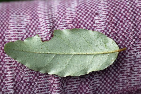 Autumn Olive Leaves Underside