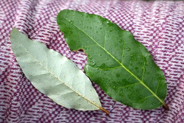 Autumn Olive Leaves
