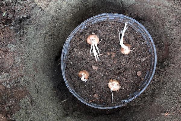 Planting Saffron Bulbs