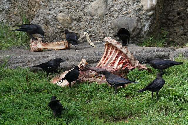 Crows are scavengers, which is one reason they have such a bad reputation as food.