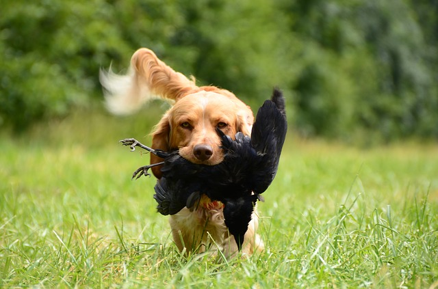 Retriever fetching crow during crow hunting season