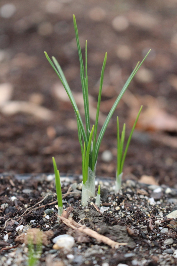 Young Saffron Crocus Sprouts