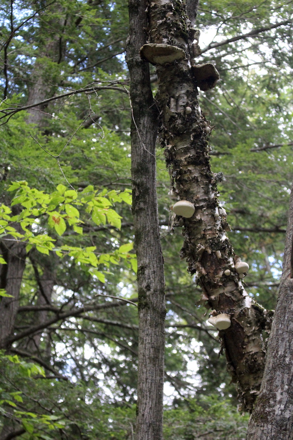 Birch Polypore on Standing Dead