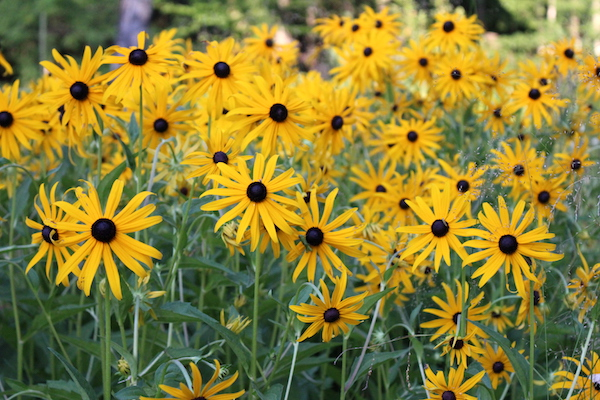 Black Eyed Susan Patch