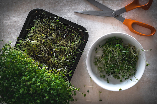 Harvesting Microgreens at Home