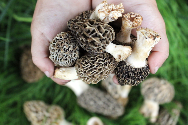 Foraging Morel Mushrooms ~ Image of a child's hands holding wild foraged morel mushrooms