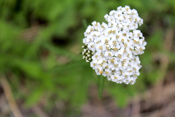 Yarrow blooming in our yard.