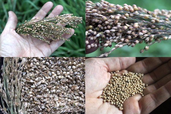 Processing wild foraged millet grains. Seed head (top left), seed head closeup (top right), millet grain and chaff (bottom left) and cleaned millet grains (bottom right)