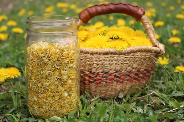 Harvesting flowers for dandelion jelly