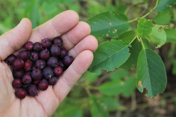 Foraging Sericeberries ~ A handful of wild serviceberry fruit (amelanchier)