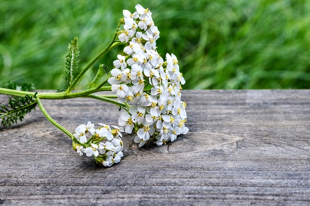 yarrow flowers