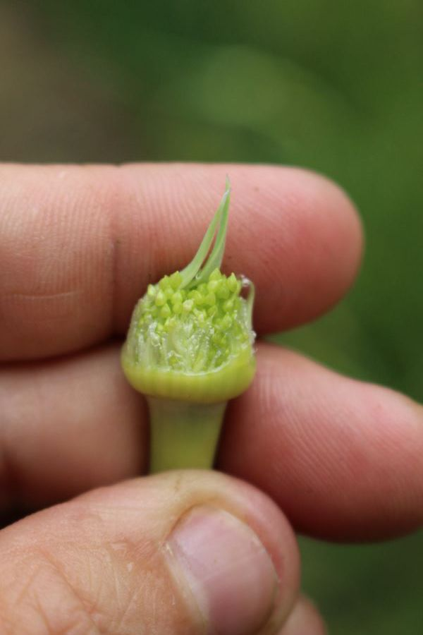 Young immature garlic flowers inside a scape
