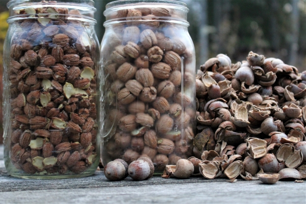 Jars of cracked acorns
