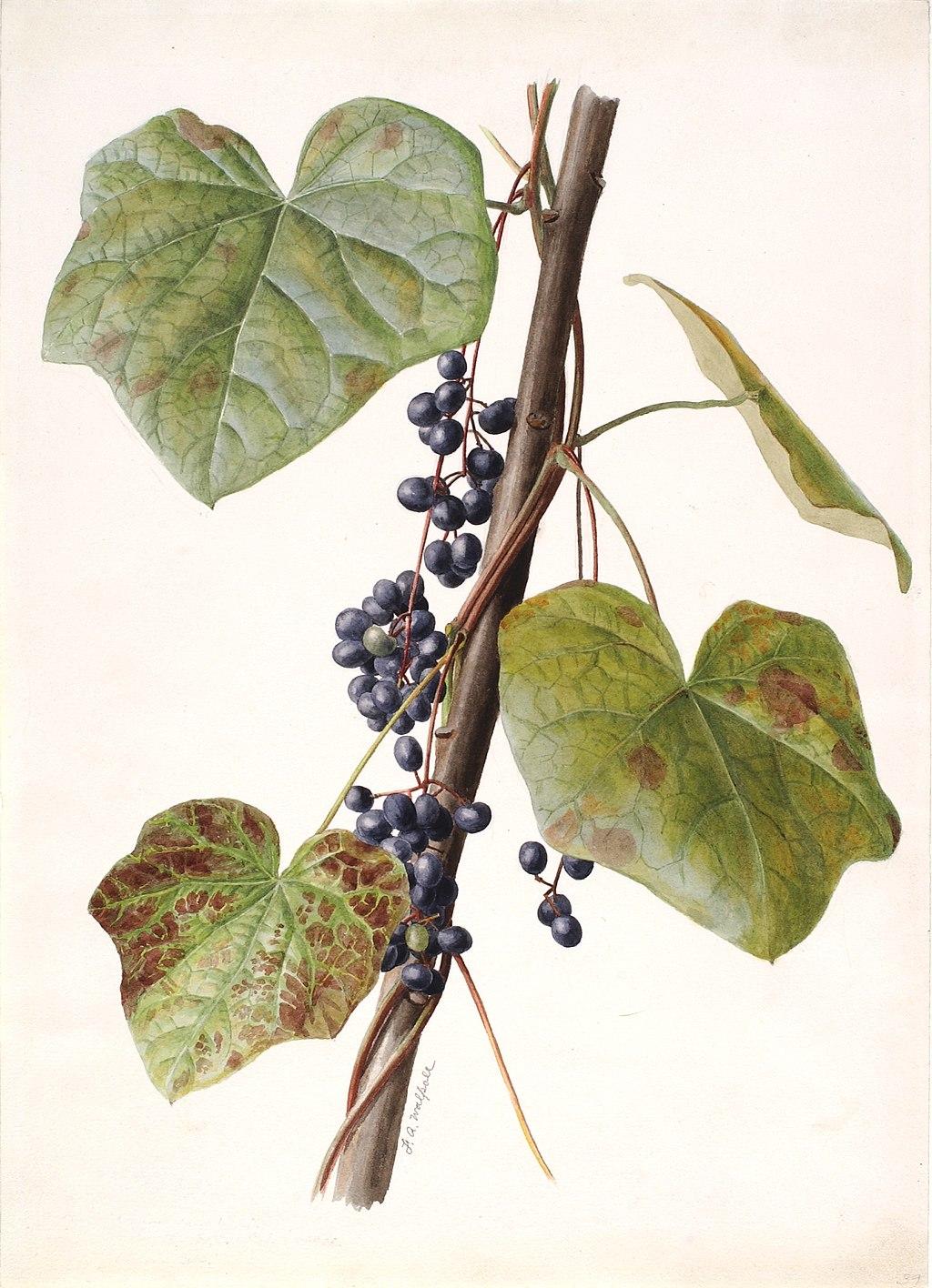 Canadian Moonseed Menispermum canadense