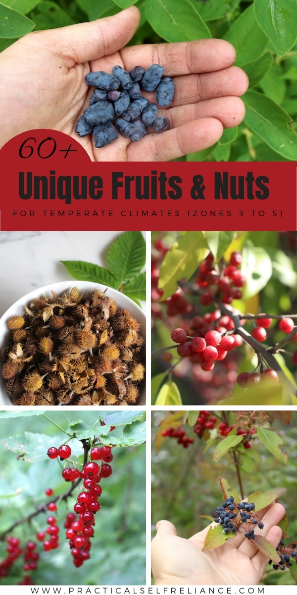 60+ Unique fruits and nuts for temperate climates ~ Looking for unconventional perennial food plants? There's plenty that grow in zones 3, 4 and 5!