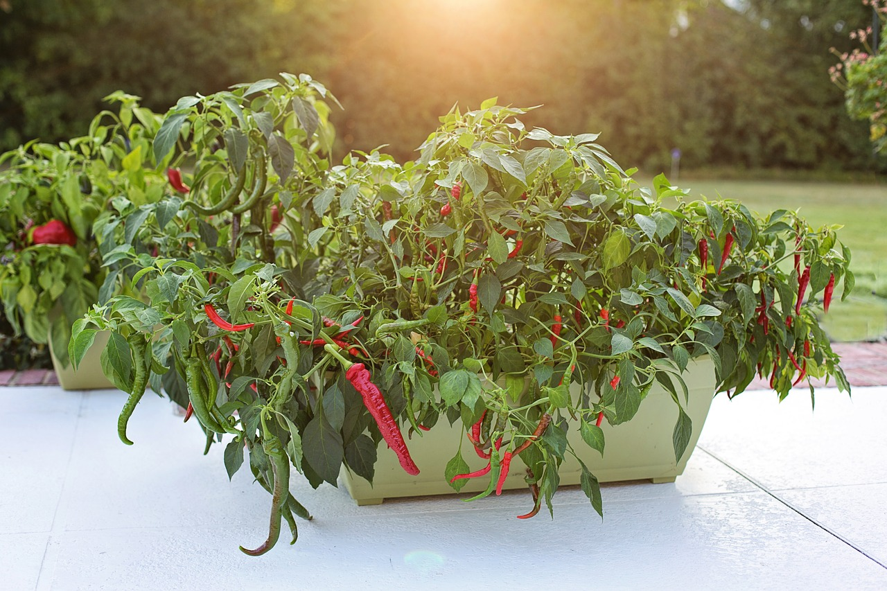 cayenne pepper plant growing in container