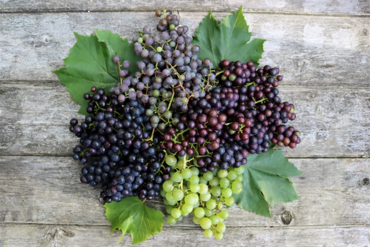 Grape Varieties for Jelly