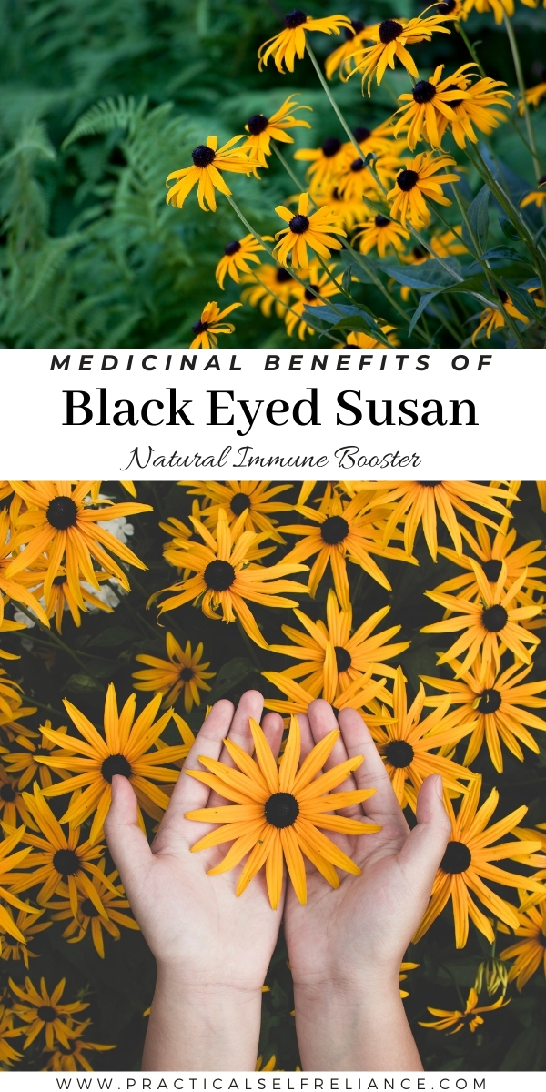 Black Eyed Susan Medicinal Benefits