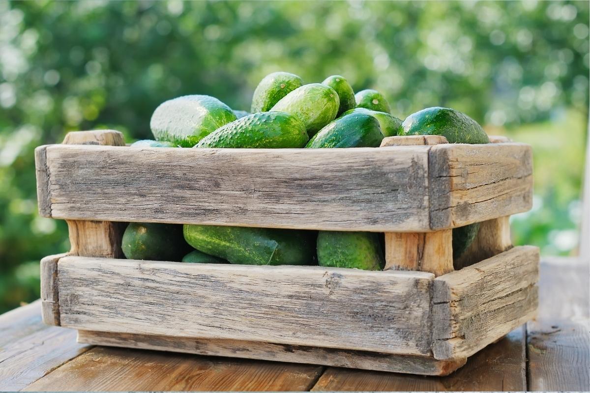 Cucumber Harvest Box