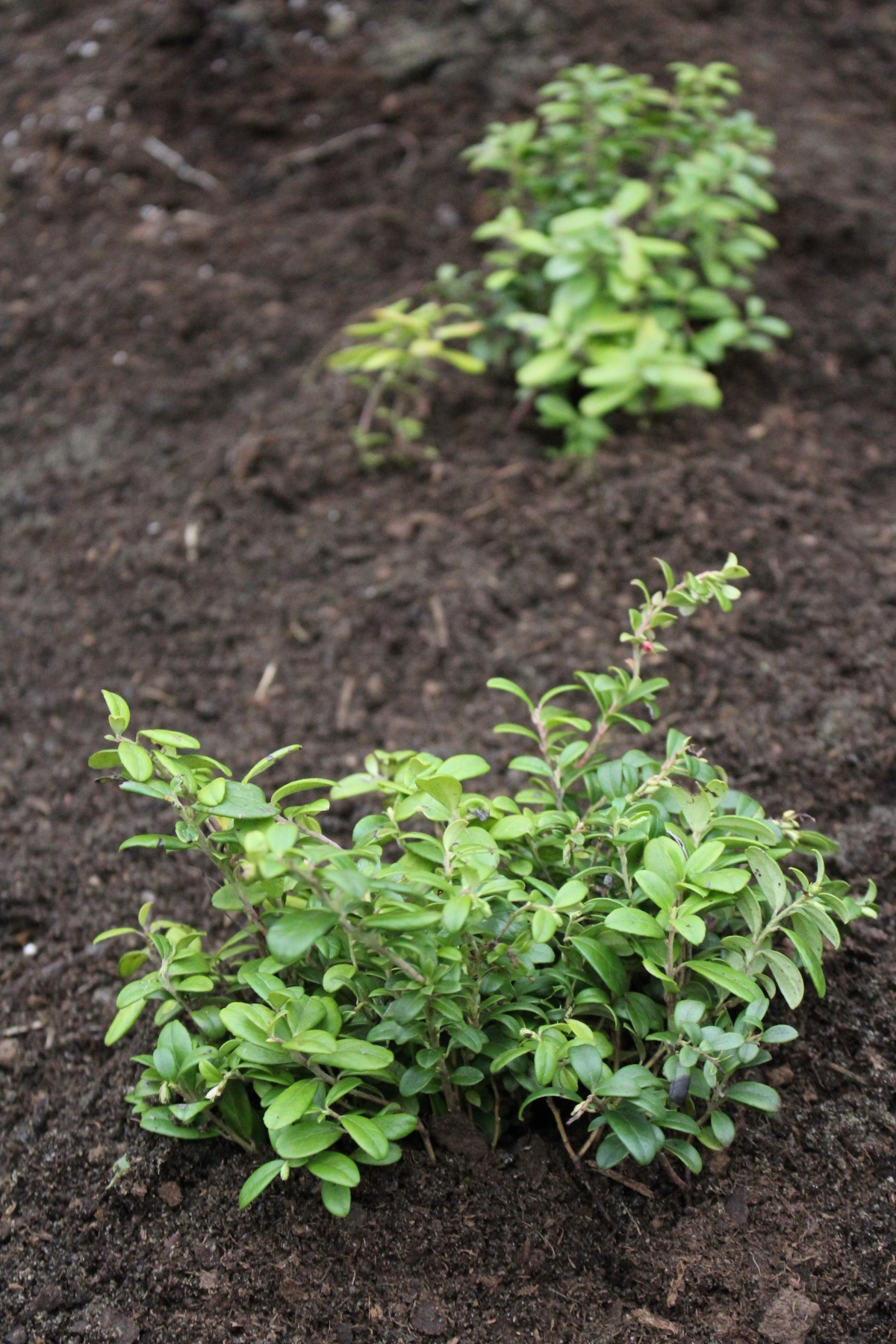 Planting Lingonberries