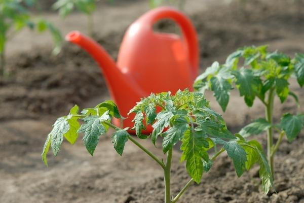 Planting Tomato Starts
