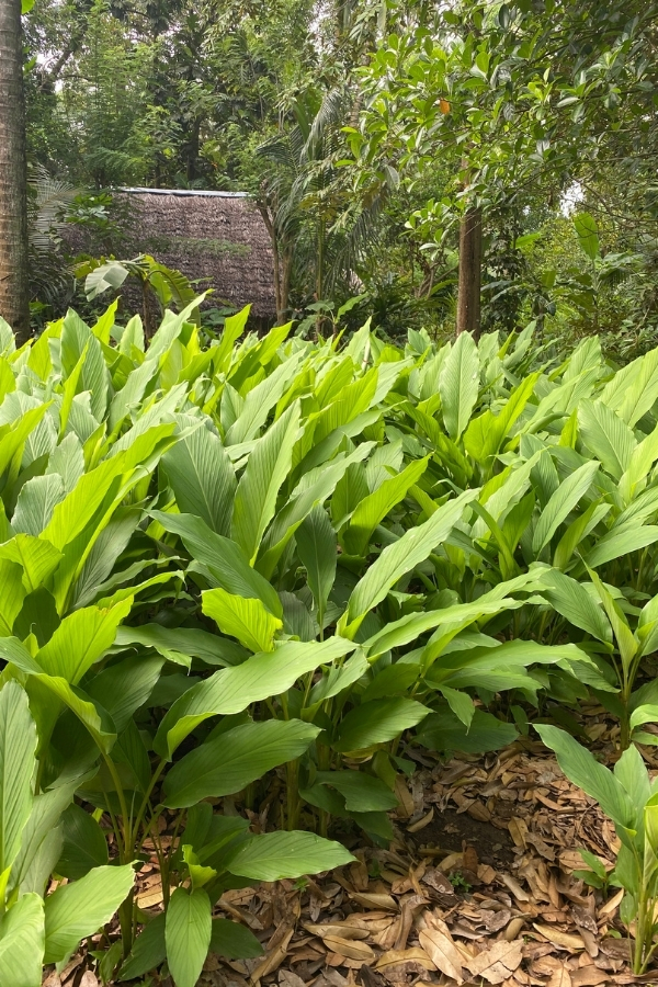 Turmeric Growing Outdoors