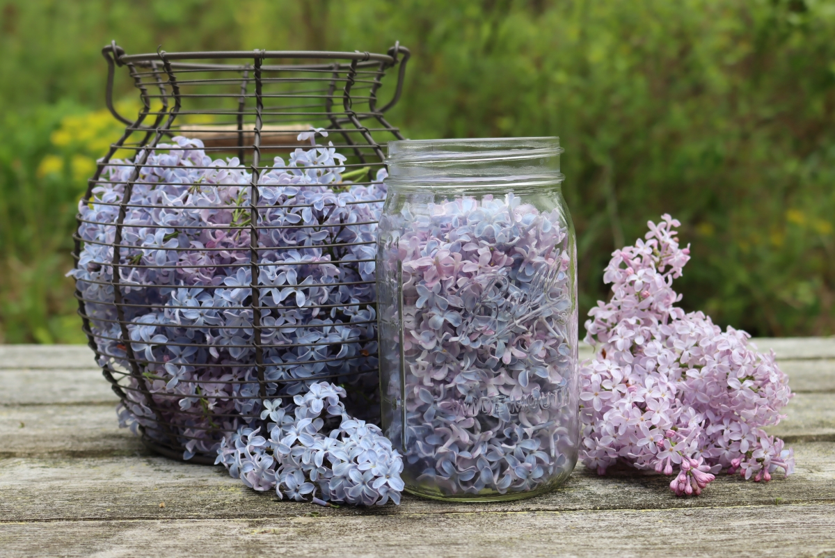 Lilac Flowers for Lilac Jelly