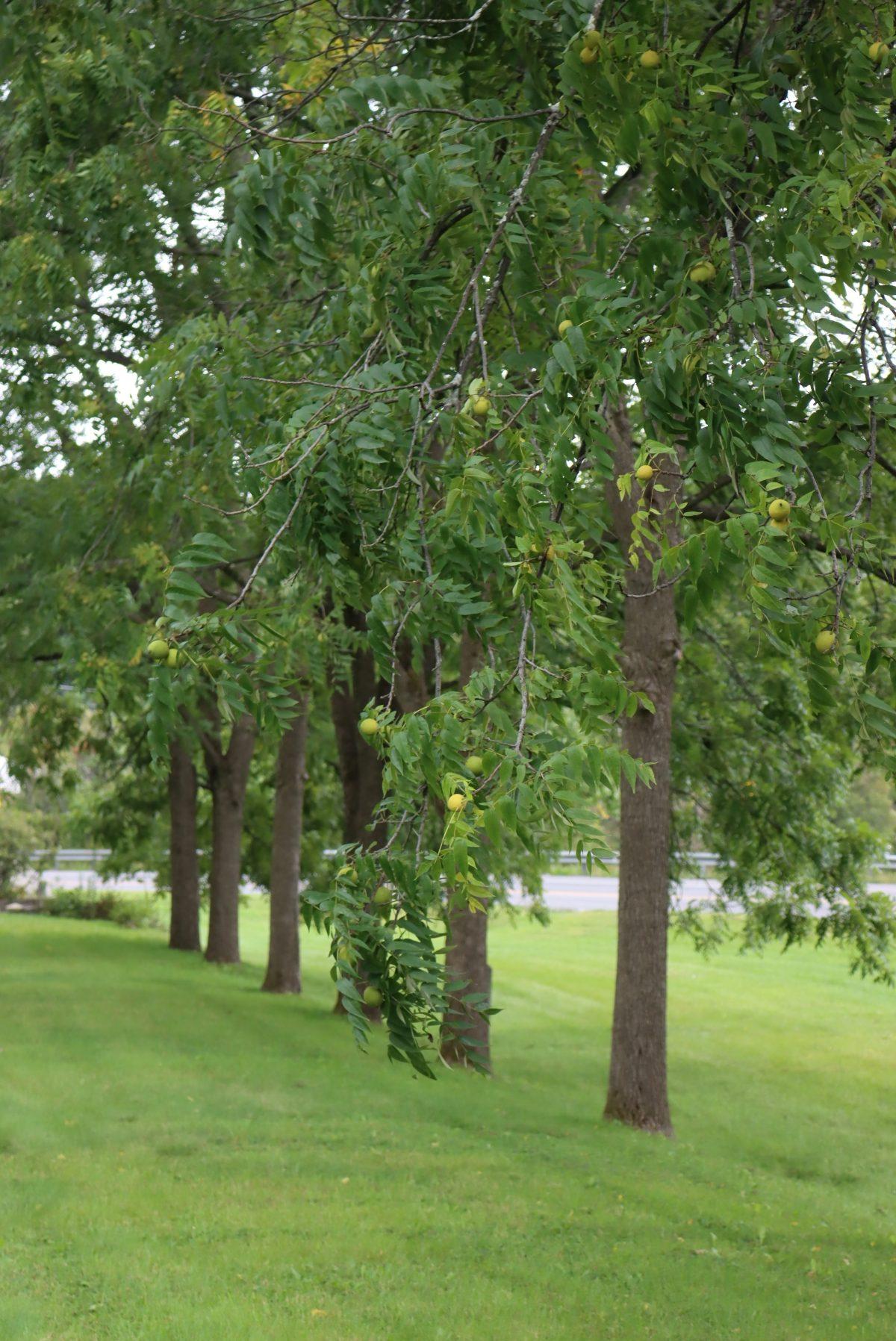 Line of Black walnut Trees