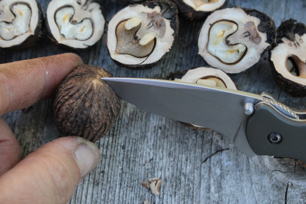 Prying Open Black Walnuts