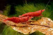 Neocaridina heteropoda Red