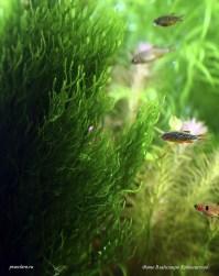 Taxiphyllum sp. - Flame Moss