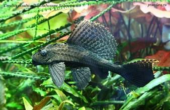 Парчовый птеригоплихт (Pterygoplichthys gibbiceps) Крупная рыба не лучший выбор в травнике. Она может сильно ограничить вас в выборе гидрофлоры.