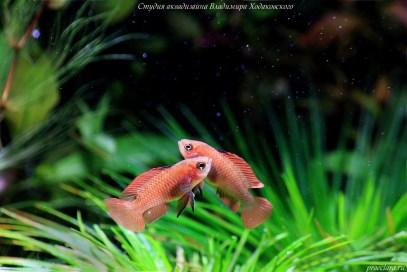 """Бадис красный """"Скарлет"""" (Dario dario, Badis sp. """"Scarlet""""), рыба для нано-аквариумов"""
