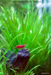 krevetka-vishnya-red-fire