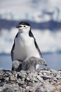 photos_and_videos/AntarcticaPenguins_10155338149716869/18121523_10155338173281869_5771323278039638889_o_10155338173281869.jpg
