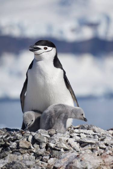 photos_and_videos/AntarcticaPenguins_10155338149716869/18121523_10155338173281869_5771323278039638889_o_10155338173281869.jpg