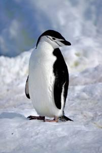 photos_and_videos/AntarcticaPenguins_10155338149716869/18121826_10155338150711869_2662526241400185379_o_10155338150711869.jpg