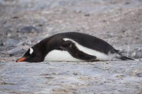 photos_and_videos/AntarcticaPenguins_10155338149716869/18121991_10155338162731869_2713497044545032140_o_10155338162731869.jpg