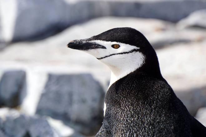 photos_and_videos/AntarcticaPenguins_10155338149716869/18156021_10155338149946869_2467464910221455875_o_10155338149946869.jpg