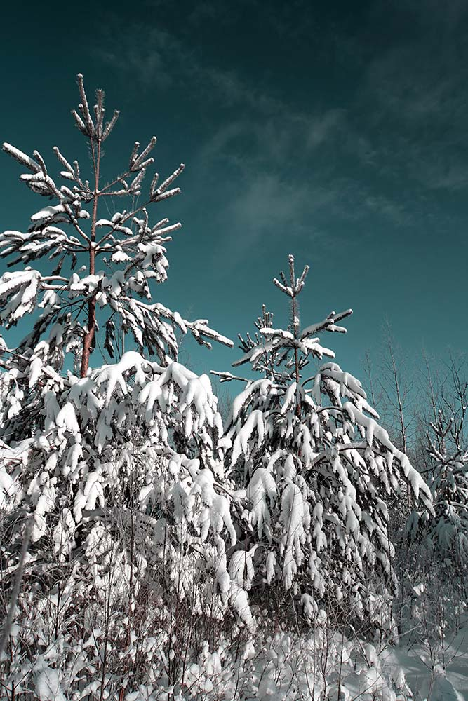 Heavy winter snow on treetops