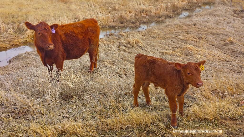 Calf and mama
