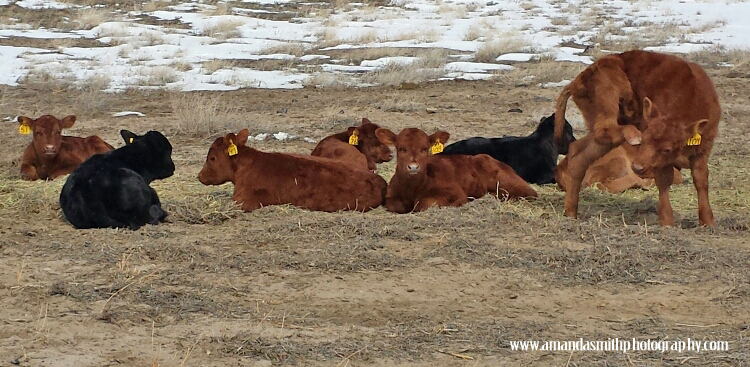 Group of Calves